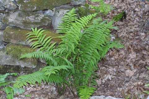 Image http://bioimages.vanderbilt.edu/lq/baskauf/wdipy--wp34603.jpg