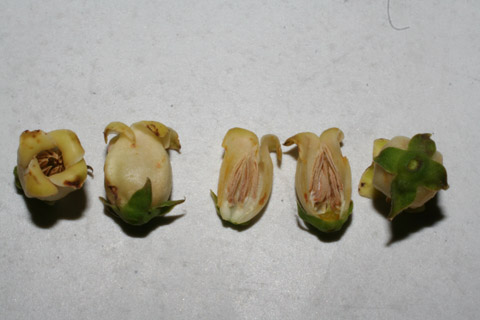 Image http://bioimages.vanderbilt.edu/lq/baskauf/wdivi5-flmale51973.jpg