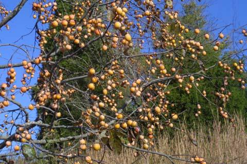 Image http://bioimages.vanderbilt.edu/lq/baskauf/wdivi5-frdistant30341.jpg