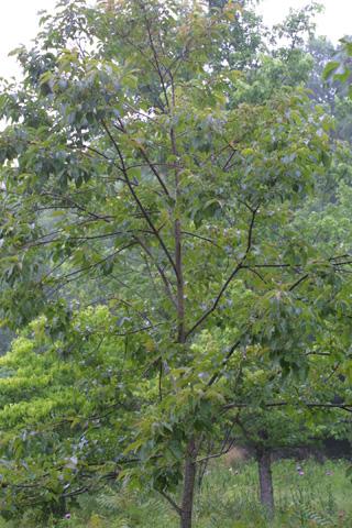 Image http://bioimages.vanderbilt.edu/lq/baskauf/wdivi5-wpsmall11808.jpg