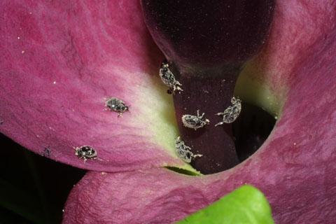 Image http://bioimages.vanderbilt.edu/lq/baskauf/wdrvu--flspadix-beetles34909.jpg