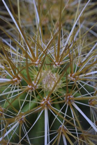 Image http://bioimages.vanderbilt.edu/lq/baskauf/wecni--ap14955.jpg