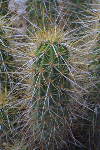 Image http://bioimages.vanderbilt.edu/lq/baskauf/wecni--st14954.jpg