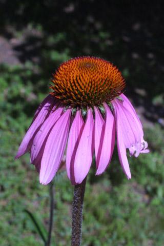 Image http://bioimages.vanderbilt.edu/lq/baskauf/wecpu--fl13361.jpg