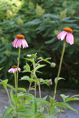 Image http://bioimages.vanderbilt.edu/lq/baskauf/wecpu--fldevelopment13325.jpg
