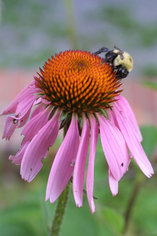 Image http://bioimages.vanderbilt.edu/lq/baskauf/wecpu--flwith-bee13318.jpg