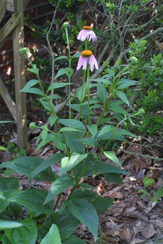 Image http://bioimages.vanderbilt.edu/lq/baskauf/wecpu--wpin-flower13324.jpg