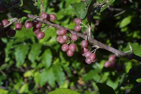 Image http://bioimages.vanderbilt.edu/lq/baskauf/welum--frinfruct29163.jpg