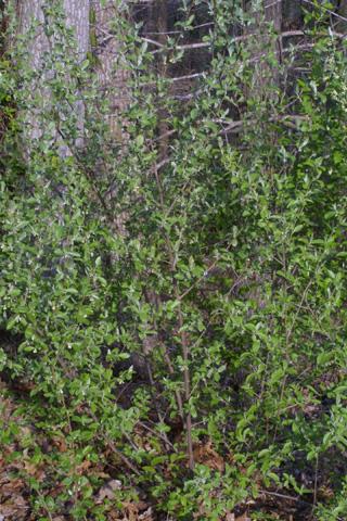 Image http://bioimages.vanderbilt.edu/lq/baskauf/welum--wp19595.jpg