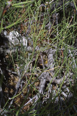 Image http://bioimages.vanderbilt.edu/lq/baskauf/wephed-br14070.jpg