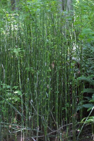 Image http://bioimages.vanderbilt.edu/gq/baskauf/geqhya-wp12067.jpg