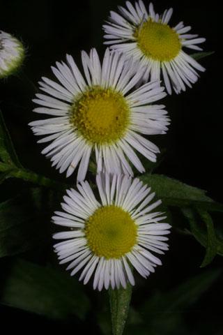 Image http://bioimages.vanderbilt.edu/lq/baskauf/weran--flfront34928.jpg