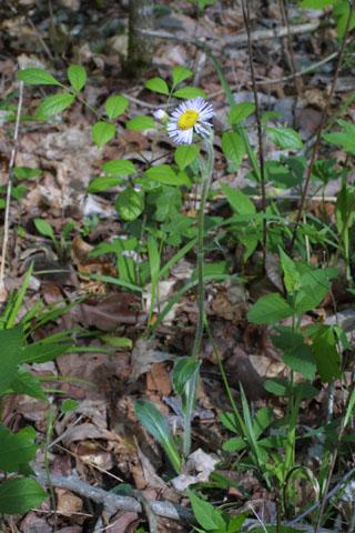 Image http://bioimages.vanderbilt.edu/lq/baskauf/werpu--wp33124.jpg