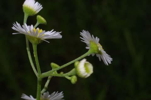 Image http://bioimages.vanderbilt.edu/lq/baskauf/werst3-flside27497.jpg