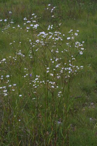 Image http://bioimages.vanderbilt.edu/lq/baskauf/werst3-wp35901.jpg