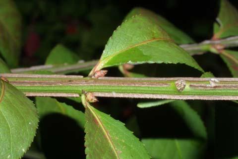Image http://bioimages.vanderbilt.edu/lq/baskauf/weual8-tw30498.jpg