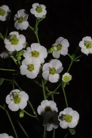 Image http://bioimages.vanderbilt.edu/lq/baskauf/weuco10fl37935.jpg