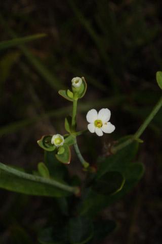 Image http://bioimages.vanderbilt.edu/lq/baskauf/weuco10flfront36878.jpg