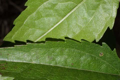Image http://bioimages.vanderbilt.edu/lq/baskauf/weuse2-lfmargin-uplow29513.jpg