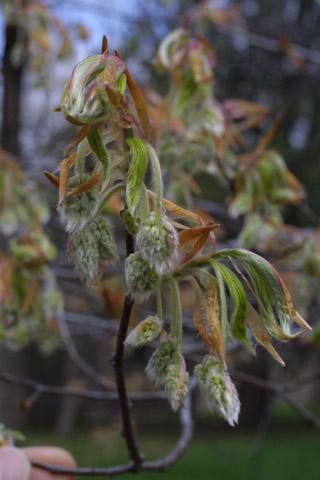 Image http://bioimages.vanderbilt.edu/lq/baskauf/wfagr--flbuds10457.jpg