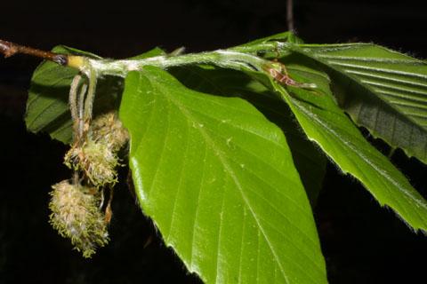 Image http://bioimages.vanderbilt.edu/lq/baskauf/wfagr--flinflor39270.jpg