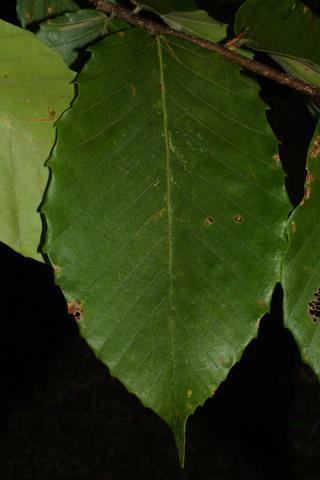 Image http://bioimages.vanderbilt.edu/lq/baskauf/wfagr--lf29683.jpg