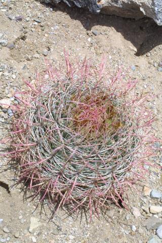 Image http://bioimages.vanderbilt.edu/gq/baskauf/gfecyc-wp14926.jpg