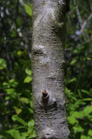 Image http://bioimages.vanderbilt.edu/lq/baskauf/wfoli--br21869.jpg