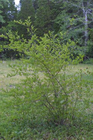 Image http://bioimages.vanderbilt.edu/lq/baskauf/wfoli--wp12930.jpg