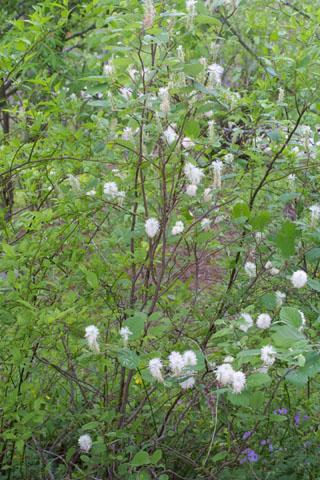 Image http://bioimages.vanderbilt.edu/lq/baskauf/wfoma--wp33012.jpg