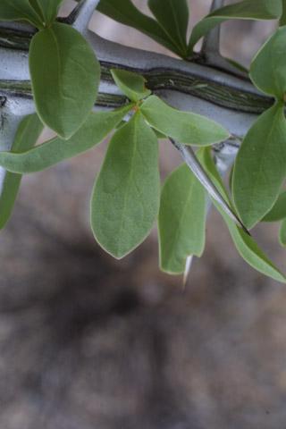 Image http://bioimages.vanderbilt.edu/lq/baskauf/wfosp2-lf14429.jpg