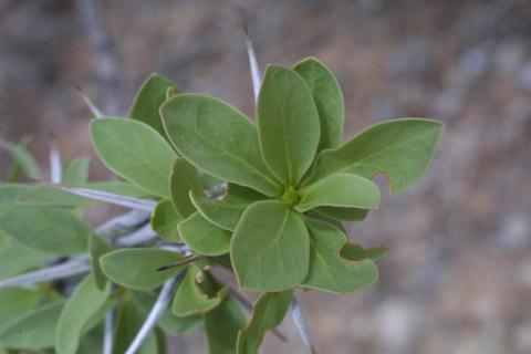 Image http://bioimages.vanderbilt.edu/lq/baskauf/wfosp2-lfseveral14427.jpg