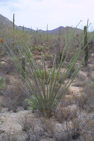 Image http://bioimages.vanderbilt.edu/gq/baskauf/gfosp2-wp14414.jpg
