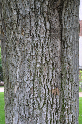 Image http://bioimages.vanderbilt.edu/lq/baskauf/wfram2-brlarge-tree12456.jpg
