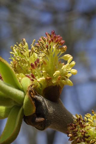 Image http://bioimages.vanderbilt.edu/lq/baskauf/wfram2-flmale18150.jpg