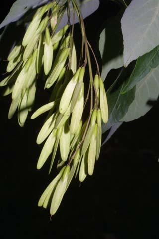 Image http://bioimages.vanderbilt.edu/lq/baskauf/wfram2-frinfruct25640.jpg