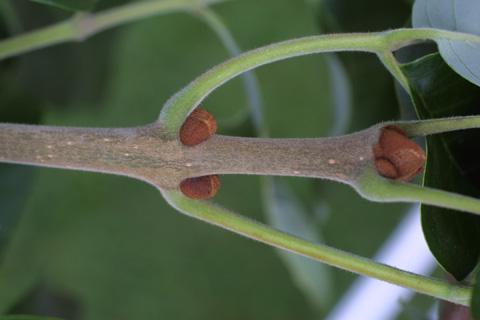 Image http://bioimages.vanderbilt.edu/lq/baskauf/wfram2-tw12469.jpg