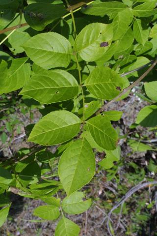 Image http://bioimages.vanderbilt.edu/lq/baskauf/wfrqu--lf12757.jpg