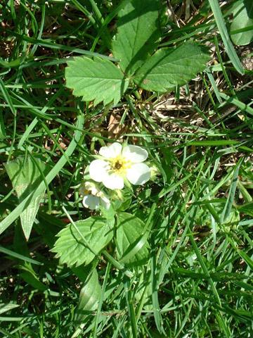 Image http://bioimages.vanderbilt.edu/lq/baskauf/wfrvi--fld0427.jpg