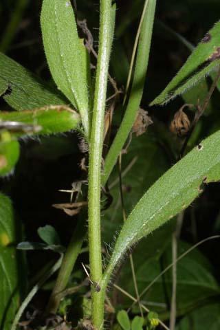 Image http://bioimages.vanderbilt.edu/lq/baskauf/wgapu--st26054.jpg
