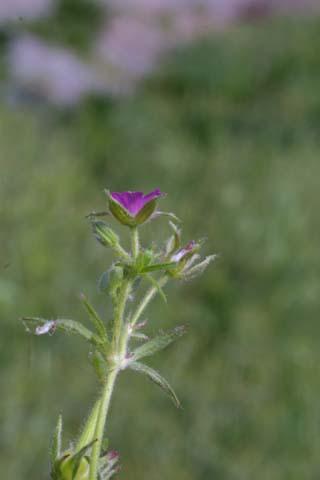 Image http://bioimages.vanderbilt.edu/lq/baskauf/wgedi--flinflor21138.jpg
