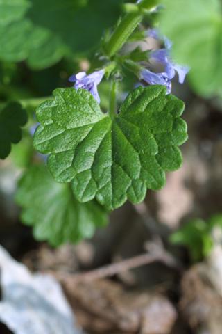 Image http://bioimages.vanderbilt.edu/lq/baskauf/wglhe2-lf20582.jpg
