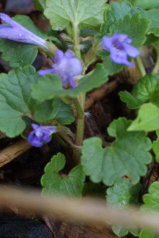 Image http://bioimages.vanderbilt.edu/lq/baskauf/wglhe2-st18243.jpg
