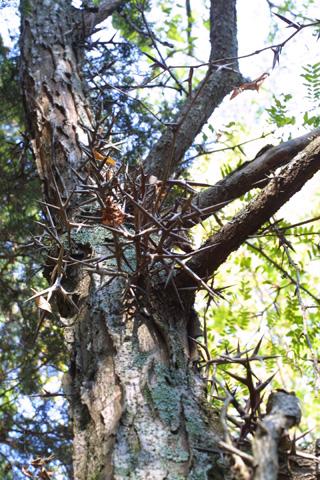 Image http://bioimages.vanderbilt.edu/lq/baskauf/wgltr--brspines15521.jpg