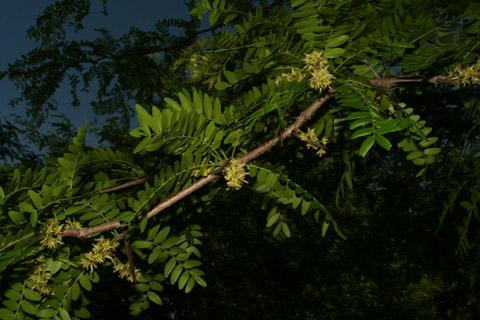 Image http://bioimages.vanderbilt.edu/lq/baskauf/wgltr--flfemale-distant66140.jpg
