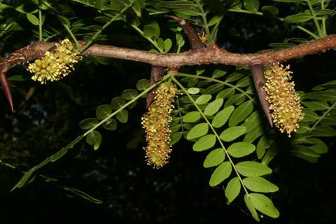 Image http://bioimages.vanderbilt.edu/lq/baskauf/wgltr--flmale-distant66183.jpg