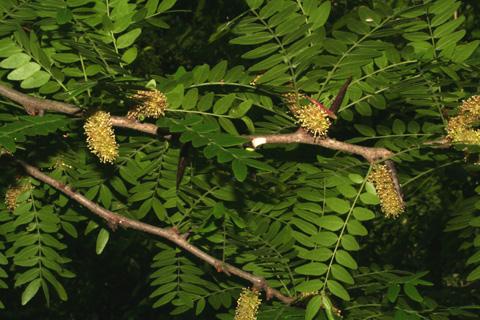 Image http://bioimages.vanderbilt.edu/lq/baskauf/wgltr--flmale-distant66191.jpg