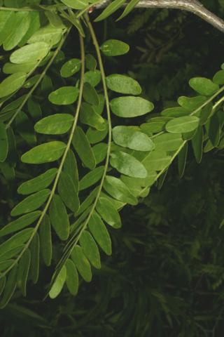 Image http://bioimages.vanderbilt.edu/lq/baskauf/wgltr--lfpinnate66176.jpg