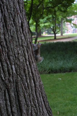Image http://bioimages.vanderbilt.edu/lq/baskauf/wgray-squirrel-12414.jpg