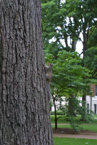 Image http://bioimages.vanderbilt.edu/lq/baskauf/wgray-squirrel-12419.jpg